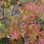 Acer leaves a mix of colour 2 (acer)