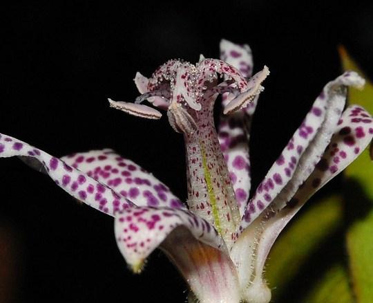 Tricyrtis Hirta (Tricyrtis hirta (Toad Lily))