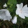 Malva moschata 'Alba' (Malva moschata (Malva Almizclada))