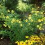 Helianthus Lemon Queen with Rudbeckia nitida in front (Helianthus multiflorus)