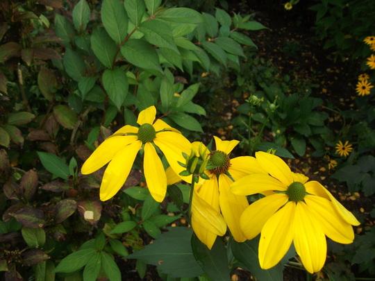 Rudbeckia nitida 'Autumn sun' (Rudbeckia nitida)