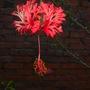 Hibiscus schizopetalus - Chinese Lantern Hibiscus, Coral Hibiscus (Hibiscus schizopetalus - Chinese Lantern Hibiscus, Coral Hibiscus)