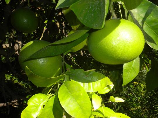 Citrus maxima - Pomelo (Citrus maxima - Pomelo)