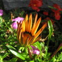 Gazania keeps on coming