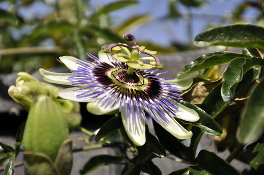 Still going strong... (Passiflora caerulea (Passion flower))
