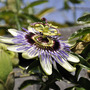Still going strong... (Passiflora caerulea (Passion flower))