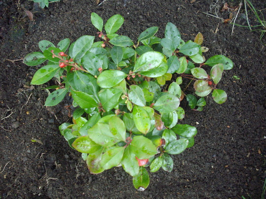 Gaultheria procumbens (Box Berry) (Gaultheria procumbens)
