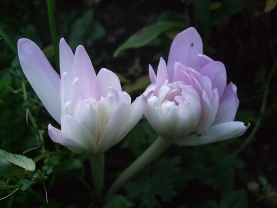 Colchicum 'Water Lily' (Colchicum)