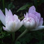 Colchicum_water_lily_