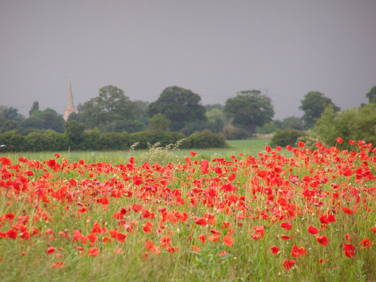 Poppy field about 750 metres from my home