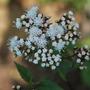 Eupatorium flowers. (Eupatorium rugosum (White snake root))