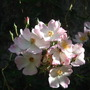 close up pic of rose.