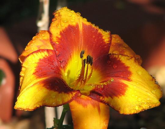 Mid-Spring Downunder:  another Hemerocallis blooms. (Hemerocallis)