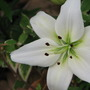 Mid-Spring Downunder:  Asiatic Lilies are blooming. (Asiatic lilium x hybrida 'Navarra')