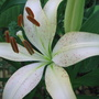 Mid-Spring Downunder:  Asiatic Lilies are blooming.