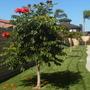 A  young Spathodea campanulata - African Tulip Tree (Spathodea campanulata - African Tulip Tree)