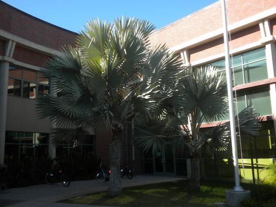 Bismarckia nobilis - Bismarck Palms in front of Coronado High School (Bismarckia nobilis - Bismarck Palm)