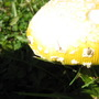 Yellow! (Amanita muscaria var. formosa)