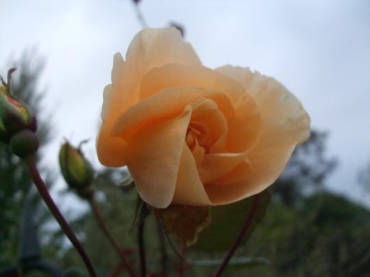 Rosa 'Lady Hillingdon' (Rosa)