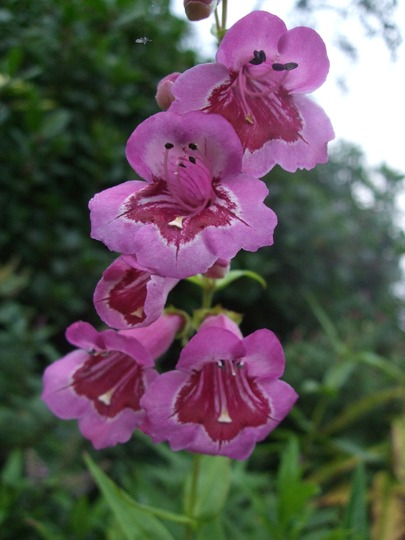 Penstemon 'Burgundy' (Penstemon)