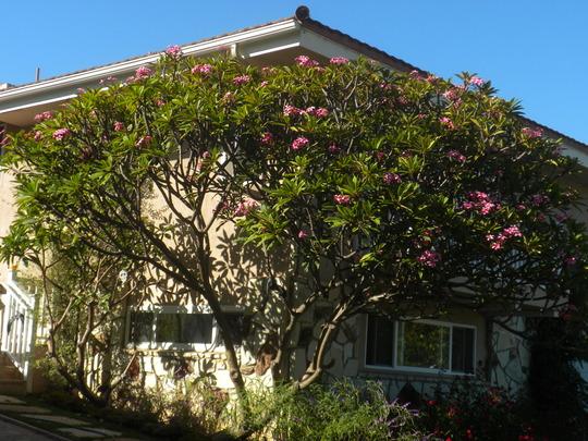 Plueria unknown variety - Plumeria tree (Plumeria)