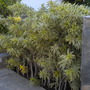 Dracaena reflexa - Song of India (Dracaena reflexa - Song of India)