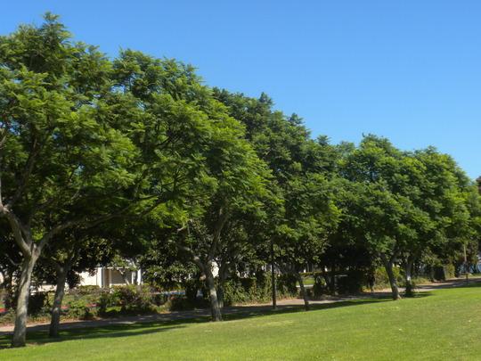 Jacaranda mimosifolia - Jacaranda Trees in Glorietta Bay Park, Coronado Island (Jacaranda mimosifolia - Jacaranda Tree)