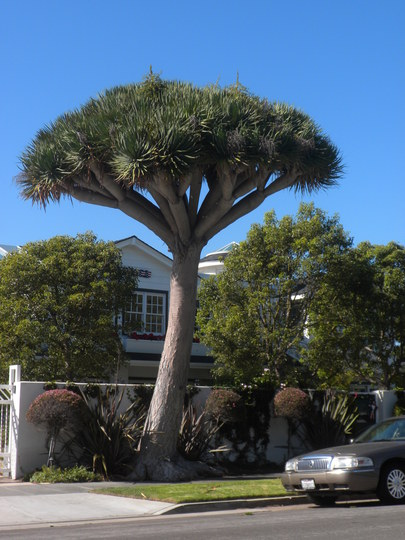 Dracaena draco - Canary Island Dragon Tree (Dracaena draco - Canary Island Dragon Tree)