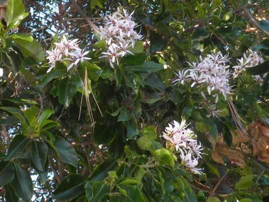 Clerodendron capense - Cape Chestnut Flowers (Clerodendron capense - Cape Chestnut)