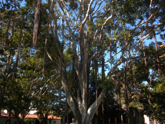 Ficus rubiginosa - Rusty Fig, Port Jackson Fig (Ficus rubiginosa - Rusty Fig, Port Jackson Fig)
