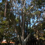 Ficus rubiginosa - Rusty Fig, Port Jackson Fig (Ficus rubiginosa - Rusty Fig, Port Jackson Fig)