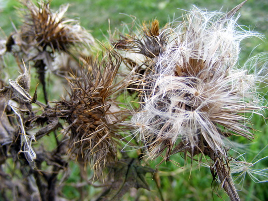 Autumn (Thistle)