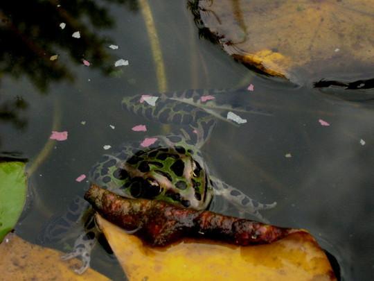 Rana pipiens...Northern Leopard Frog
