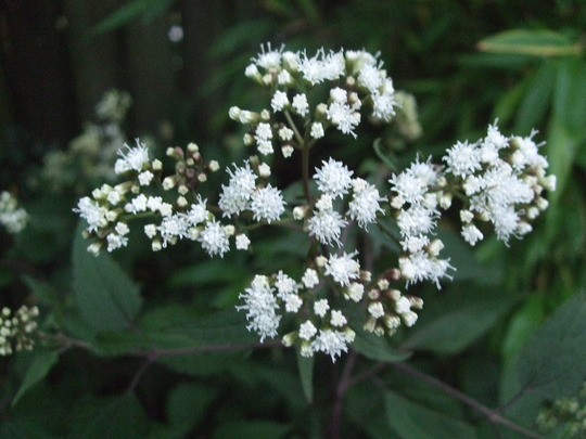 Eupatorium rugosum 'Chocolate' (Eupatorium rugosum (White snake root))