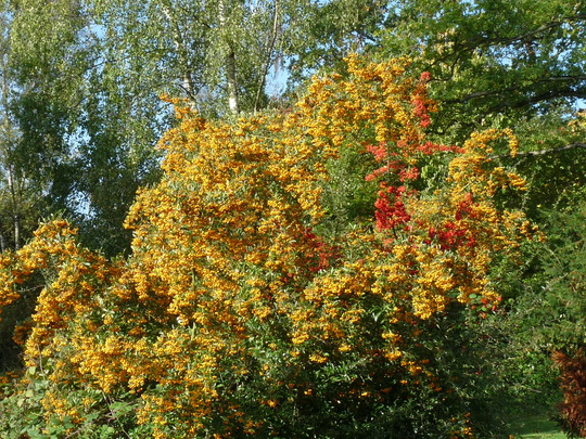 Pyracanthas (Pyracantha angustifolia (Fire Thorn))