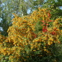 Pyracantha angustifolia (Fire Thorn)