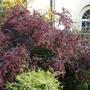 Cotoneaster amoenus (Beautiful Cotoneaster)