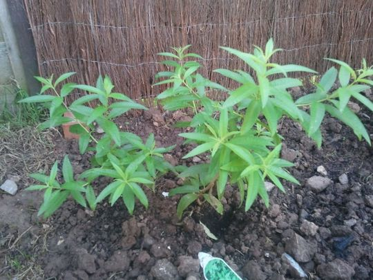 Lemon Verbena growing strong (Aloysia citrodora (Lemon verbena)a)