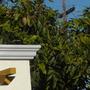 Mangifera indica - Mango Tree