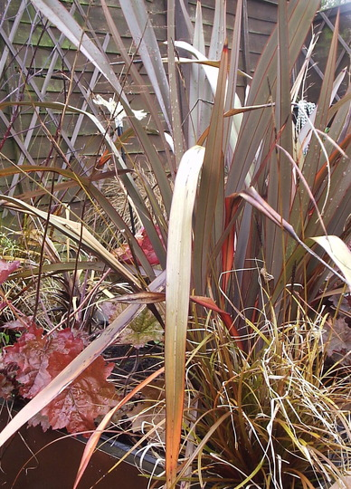 Phormium, Heuchera and Uncinia  10/10/10