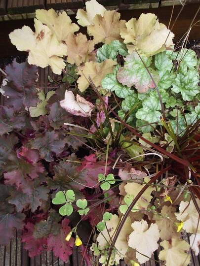 Heuchera planter  10/10/10