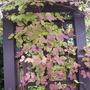 "Akebia quinata ""White Chocolate"" autumn foliage 10/10/10"
