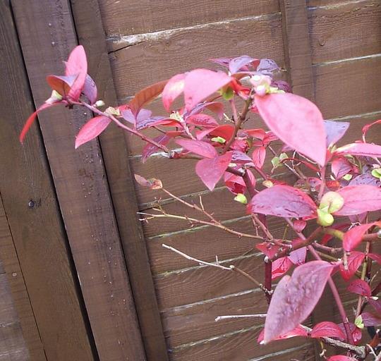 Blueberry autumn foliage   10/10/10