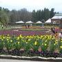 biltmore tulips