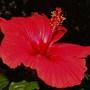 Hibiscus rosa-sinensis (Hibiscus rosa-sinensis (Chinese Hibiscus))