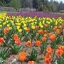 biltmre tulips 2