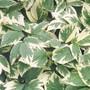 Bishop's Weed (Aegopodium podagraria 'Variegatum')