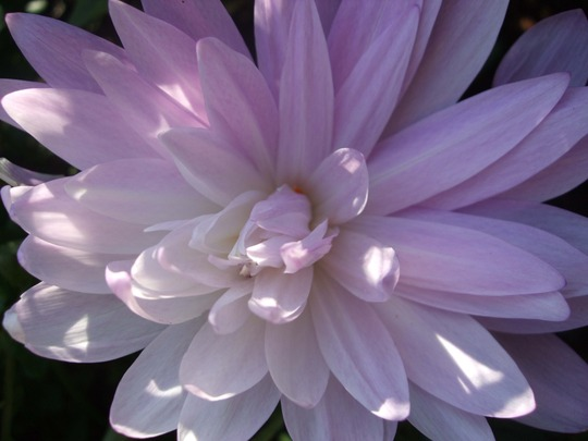 Colchicum close-up. (Colchicum)
