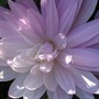 Colchicum_close_up