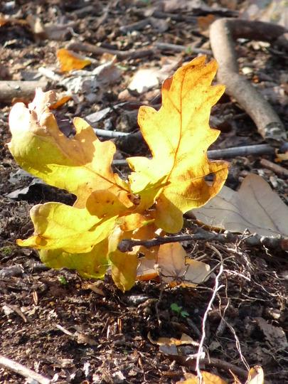 Symbol of Autumn (Quercus robur (English oak))